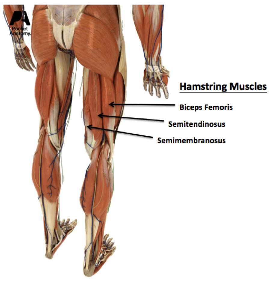 BG 2 The Role Hamstrings Play in Protecting Knee Ligaments